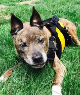 Help your dog outside with the sturdy support of our custom Support Suit dog harness, a great way to help a disabled dog walk. Lift and Assist your senior pet.