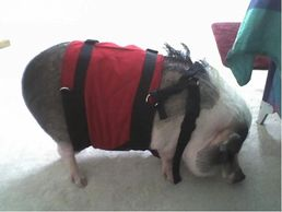 Need to help a potbelly pig down a flight of slippery stairs? We build custom Support Suits for pigs! Support Suits wrap around the torso, so you don't need to thread the head or legs through loops of strap.