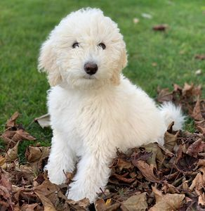 Cream Mini Sheepadoodle puppy