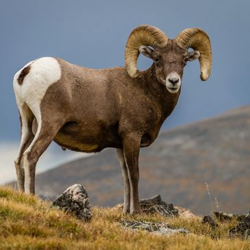Big Horn Sheep traversing the Continental Divide in Rocky Mountain National Park.