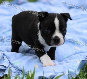 Boston Terrier | Perfect Puppies 4 You