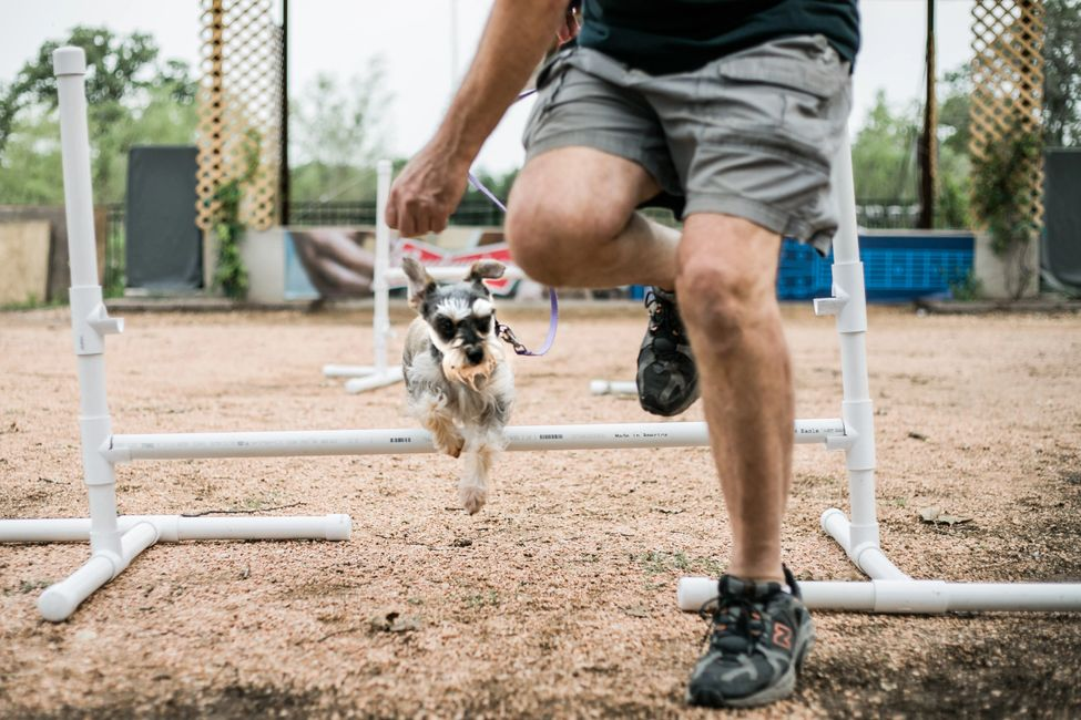Miniature Schnauzer and owner practicing agility jump