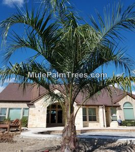Mule Palm Trees For Sale in Houston
