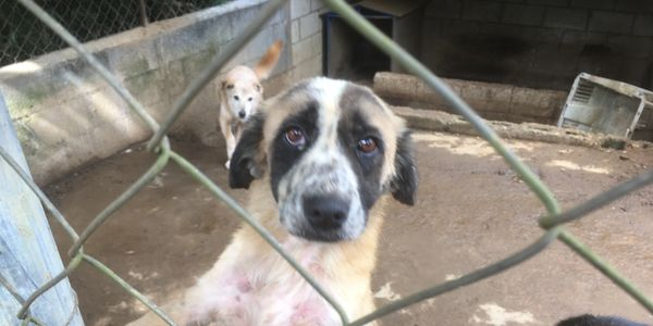 Shelter Dog Herbert is available for adoption at Animal Aware Guatemala!