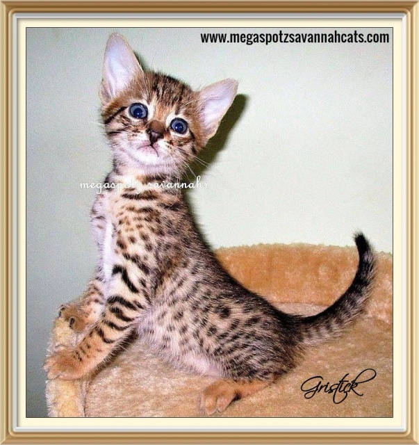 megaspotz savannah cats