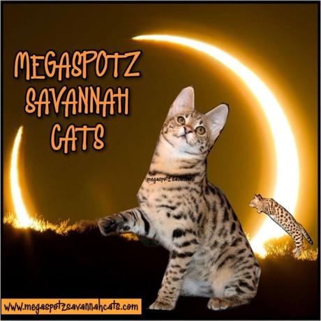 Savannah Cats - Megaspotz Savannah Cats