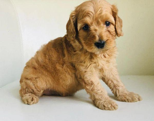 Emotional Support Pups - Emotional Support Puppies, Pets, Puppies