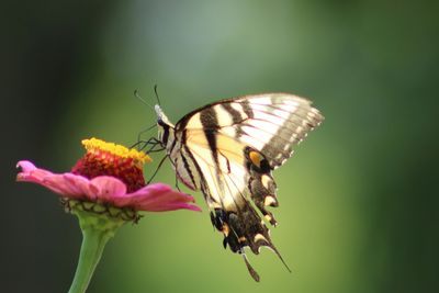 butterfly resting on a pink zinnia, photo by Christine Bhe, Tai Chi for Health instructor