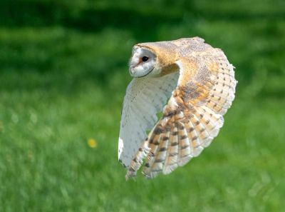 """Hush"" Barn Owl"