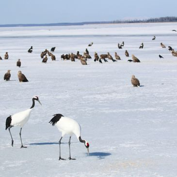 Birding Japan, HOkkaido, Winter in Japan, Japan birds, Stellar's Sea Eagle, WHtie-Tailed Eagle