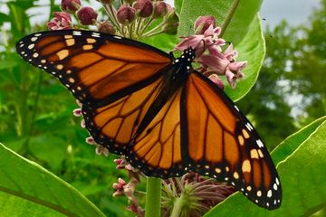 Monarch butterfly native seed pollinator mix from the heartland common milkweed wildflowers