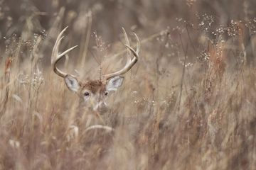 Big buck hotel bedding in a bag native warm season grasses deer habitat cover mature buck whitetails
