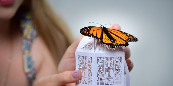 Individual release monarch butterfly