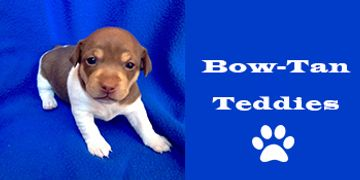 Teddy Roosevelt Terrier Rat Terrier type B North Daktoa Breeder