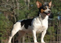 Teddy Roosevelt Terrier Rat Terrier type B Texas Breeder