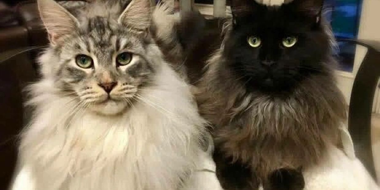 Dawntreader Maine Coons silver classic and Smoke green eyes