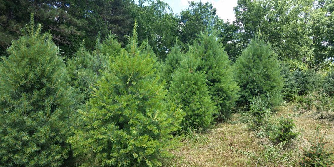 Christmas Trees In Woodbury