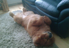 Just a Chow Chow chilling out...