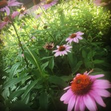 Purple coneflower (Echinacea purpurea) blooming in our garden