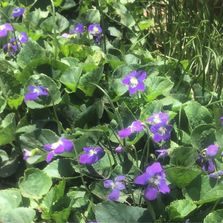 Violet flowers and leaves thriving in our violet patch