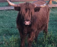 Miniature highland cow
