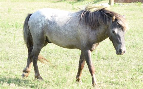 Miniature Appaloosa Horse Stallion