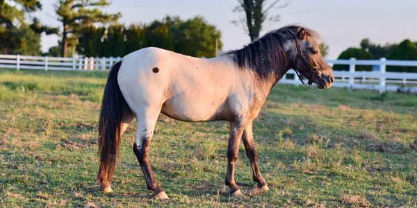 Miniature Horse Stallion Few Spot Appaloosa