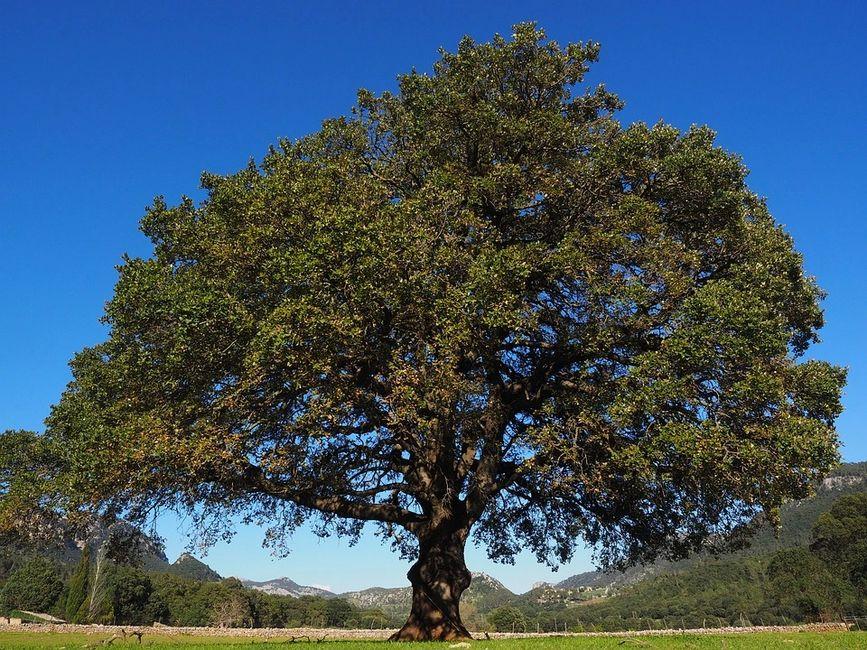 Broad Leaf Evergreen Tree