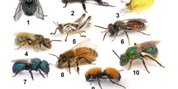 Hymenoptera - insects, such as wasps, bees, hornets, yellow jackets and fire ants.
