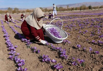 Saffron, the most expensive spice in the world, grows well in Afghanistan...