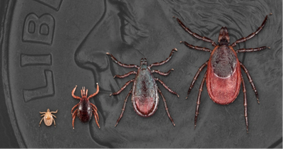The different life stages of a deer tick, pictured on the face of a penny.