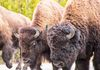 Roaming Bison in Yellowstone