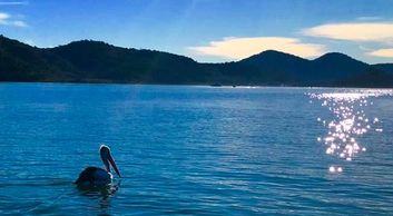 Pelican on the water of the Hawkesbury river