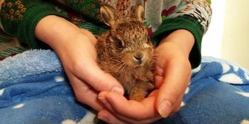 Baby hare (leveret) in care