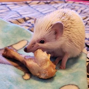 "One of Morning Star Hedgehog Babies ""Ice Hog"" nibbles on a chicken leg"