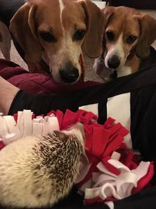 Hedgehogs can get along with other pets Your baby hedgehog can fit right in with other family pets.