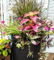 Self made combo planter with spider plant, purslane, wandering jew and purple fountain grass.