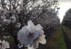 Almond bloom in Madera