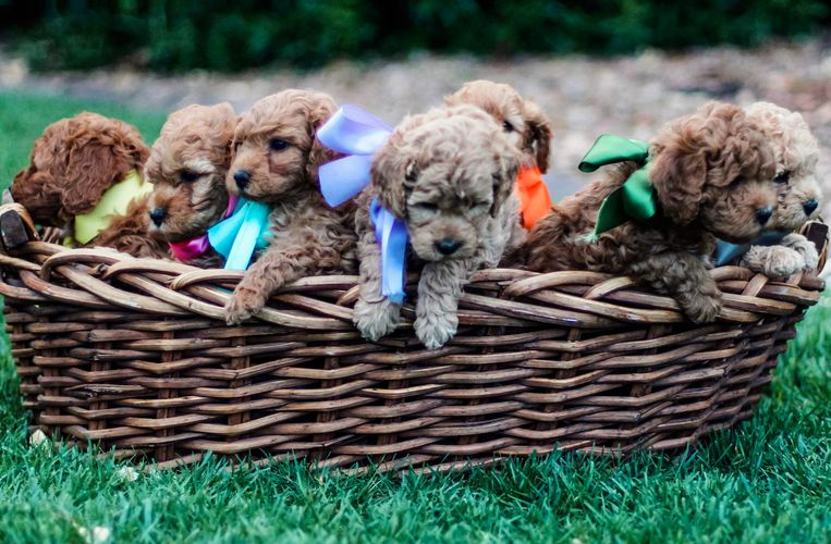 Mini and Micro-Mini/Petite Goldendoodle Puppies for Sale. Dixie and Duke's Mini F1b litter.
