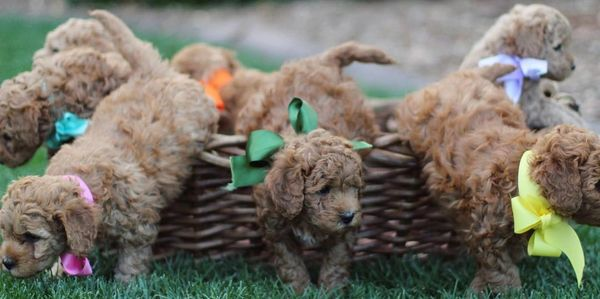Goldendoodle for sale socialized in home with 2 year health guarantee