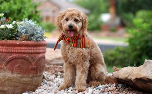 Goldendoodle Dam who will make Micro Mini F1b Goldendoodle puppies.
