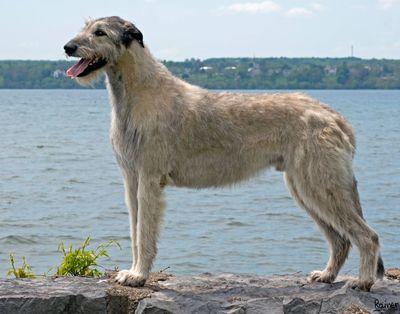 Standard de la race   Géant Shrek Irish Wolfhounds