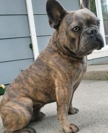 Stud services, frenchie stud