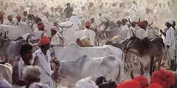 Cattle Fair Nagaur