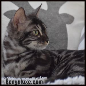 Bengal silver charcoal Bengal silver Canada Bengal silver Montreal Black Pearl Bengaluxe