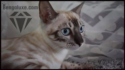 Bengal silver snow double charcoal Bengal silver Canada Bengal silver Montreal Aria Bengaluxe