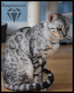 Bengal silver Bengal silver Canada Bengal silver Montreal Bengal silver Quebec Everest Bengaluxe