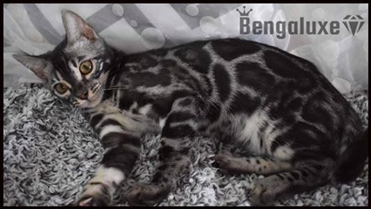 Bengaluxe Obsession Bengal Silver Silver Charcoal Yellow eyes Bengal Canada Bengal silver TICA CCC