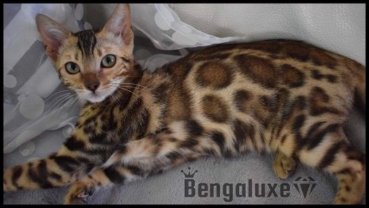 Bengaluxe Cherry Bomb Brown bengal Red bengal TICA bengal Montreal Bengal Canada Bengal Quebec