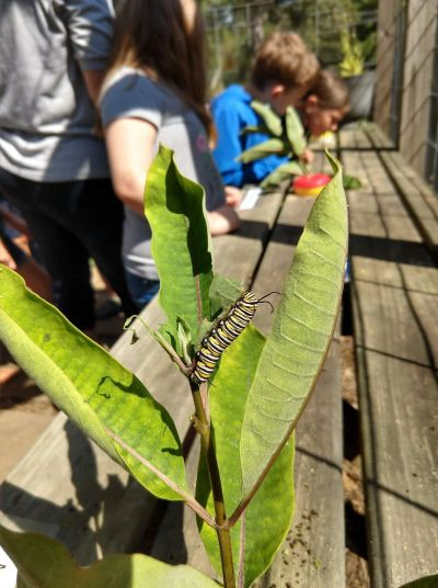 Black Mountain Primary School monarch caterpillar butterfly house pollinator education emily sampson